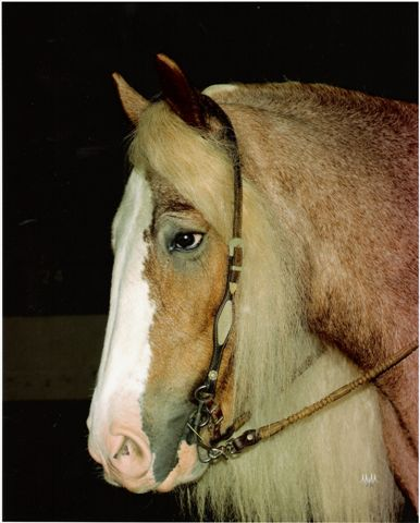 Pinky, the first strawberry roan Gypsy Vanner in the United States