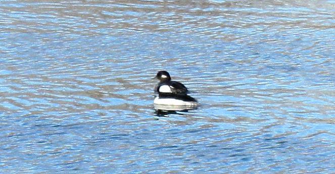 Bufflehead Duck, James River, Winter 2008